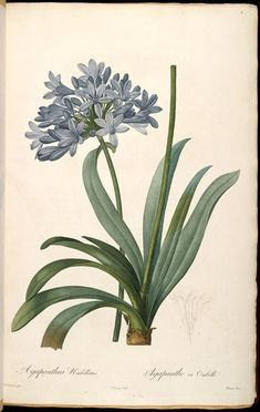 Blue Lily of the Nile, Agapanthus umbellatus, by Pierre Joseph Redoute, from Les Liliacées, vol.1, 1802