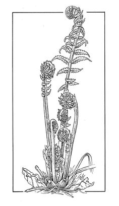(leslie land) bobbi angell drawing, fiddleheads