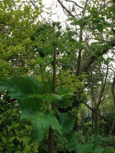 Our angelica is 7 foot high!