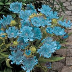 """Blue Danube Stokesia -  Unusual, lacy, sky-blue flowers on 12-18"""" stems. Blooms in sun or shade. Lovely for beds or borders. Long lasting as cut flower. Low-care perennial.  Full Sun, 12-18"""" tall; bloom mid-summer - frost; zone 5-9."""