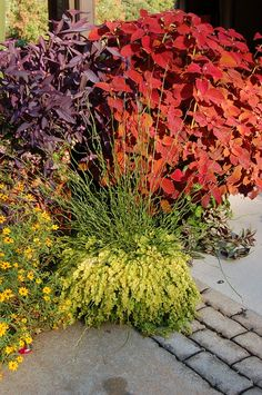 Juncas effusa 'Spiralis' (Corkscrew rush) in pot with Lysimachia nummularia 'Aurea' (golden moneywort). Behind is Coleus 'Alabama Sunset', Tradescantia pallida (purple heart). Peaking out to the sides at the bottom, a little Zinnia angustifolia and Tradescantia zebrina (purple wandering jew).