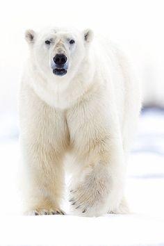 """Polar King"" ~ by Gerry Van der Walt"