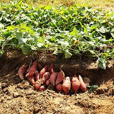 Learn how to plant, grow, and harvest sweet potatoes with this growing guide from The Old Farmer's Almanac. Sweet Potato Plant, Growing Sweet Potatoes, Old Farmers Almanac, Outdoor Gardens, Harvest, Grass, Stuffed Mushrooms, Seeds, Canning