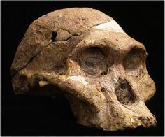 Australopithecus africanus skull