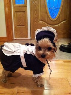Yorkie made costume Yorkie, Yorkshire Terrier, Dog