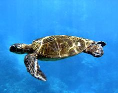 Bald Head Island: Turtle Watching