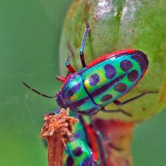 http://www.pinterest.com/arcadiafloral/butterflies-insects/  Rainbow Shield Bug