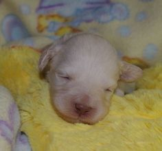 Australian Labradoodle Puppy 12 Days old with her eyes just opening!  Olympic Labradoodles Gemma's Little Pink Girl.