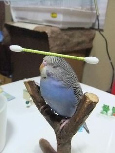 I don't doubt that he can do it, I just want to know WHY he did it. Also, this has to be the most zen budgie I've ever seen.