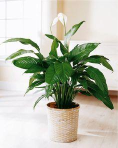 peace lily in wicker pot