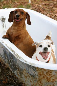 """Rub a Dub Dub, Two Pups In A Tub"" #BonnieBlanton #photography #dachshund #jackrussell #cute #tub"