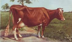 Antique Animal Print Vintage Animal Print 1902 Cow by NGArtPrints, $24.50