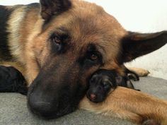 German Shepherd mom and puppy. Too adorable. Such a wonderful moment of love captured on film.