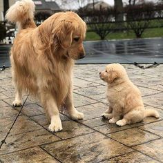 """Visit our website for more details on """"golden retriever puppy"""". It is a superb area to get more information. Perros Golden Retriever, Labrador Retriever, Golden Retrievers, Cute Dogs And Puppies, I Love Dogs, Doggies, Baby Puppies, Cute Baby Animals, Funny Animals"""