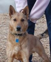 Nubi is an adoptable Basenji Dog in Wichita, KS. Nubi is housebroken and leash trained. He is approx 4 years old. Nubi is used to a crate and has been with other dogs. This sweet who fellow needs a ho...