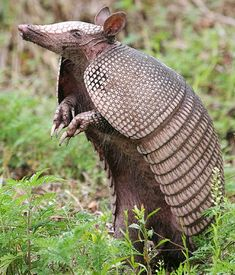 Armadillo - Little Armored Animals | Animal Pictures and Facts | FactZoo.com