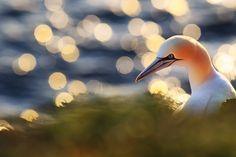 Northern gannet by Michal Jirouš on 500px