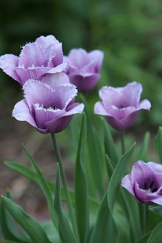 Pretty Purple Tulips