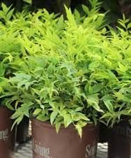 Image result for pygmy nandina