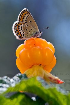 Butterfly on a beautiful Cloudberry Fruit Photography, Image Photography, Pictures Images, Nature Pictures, Butterfly Pictures, Fruit Art, Black And White Pictures, Something Beautiful, Wildlife