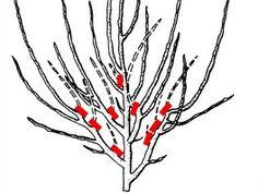Jak na řez jabloní, hrušní, angreštu či rybízu, aby byla bohatá úroda - iDNES. Fly Traps, Carnivorous Plants, Fish Tank, Peonies, Orchids, Whimsical, Succulents, Gardening, Flowers