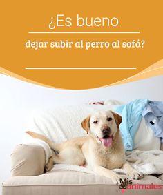 ¿Es bueno dejar subir al perro al sofá? ¿Crees que dejar subir al perro al sofá es una buen práctica? Aquí tienes más detalles sobre esta situación para hacer lo que mejor te convenga. #sofá #mascota #práctica #adiestramiento