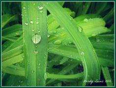 Daylily drips