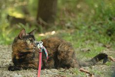 Top Cat leashes: what kind of harness does your cat need? AdventureCats.org article 2015-10-17 • examples: Puppia $18 / Crazy K Farm Kitty Holster $28 / Kitty Holster Cat Harness $25 / SturdiPet Walking Vest $18 /  Come With Me Kitty Harness & Bungee Leash $9 ( ASPCA recommended)