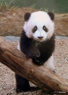 Oso panda animales pinterest duermo mucho necesitar for Andy panda jardin de infantes
