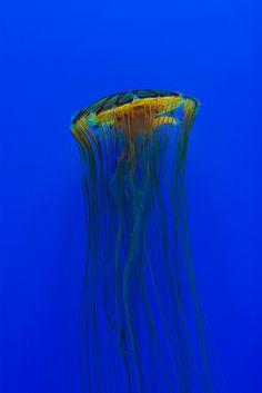 Jellyfish - ©/cc Robert Williams (rwillia532) www.flickr.com/photos/rwillia532/10988214055/