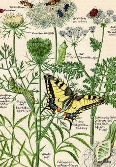 1947 Botanical Chart Queen Anne's Lace and the Spotted Hemlock