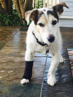 Carpal wrist wrap for hyper extension of dog or cat wrist joint due to arthritis or joint changes from excessive wear and tear.