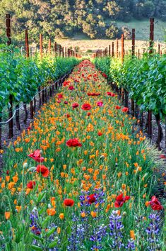 Flowers line the vineyard rows at Kunde Winery, Kenwood, California!