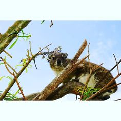 А это мы так и не поняли кто  смешной грызун без хвоста бегает как заец и ползает по деревьям. #кения #африка #сафари #сафаривкении #easttsavo #easttsavonationalpark  #safari #kenya #afrika by shtosik_stasya @enthuseafrika
