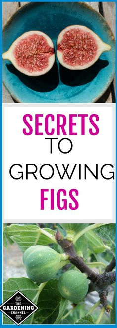 Everything you need to know about growing figs in your garden.  Learn how and where to plant them, how to control pests and how to harvest.