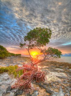 Mangrove Tree Florida Keys