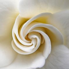 I LOVE gardenias.the scent.the color.the silkiness of the petals White Flowers, Beautiful Flowers, Colorful Roses, Beautiful Lines, Fibonacci Spiral, Shades Of White, Sacred Geometry, Nature Geometry, Belle Photo