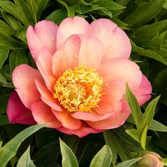 True or False -- This Julia Rose Itoh Peony can give up to 10000 blooms in its lifetime. . . . #monroviaplants #monrovianursery #GrowBeautifully #Peony #Itoh #ItohPeony #Paeonia #JuliaRose #JuliaRosePeony #JuliaRoseItoh #JuliaRoseItohPeony #gardenlovers #gardeners #lovegardening #gardening #garden #gardenlifestyle #gardendesign #flowers #plants #blooms #plantvibes #Plantsofinstagram #Flowersofinstagram #GardenersofInstagram #instagardenlovers #Spring #SpringFlowers