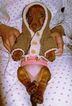 Cute doxie in a sweater