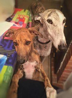 Greyhounds Fran & Ginger