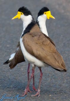 Masked Lapwing (Vanellus miles) is native to Australia, particularly the northern and eastern parts of the continent, New Zealand and New Guinea.