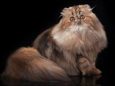 :: CFA Persian Breed Council - Tabby Division Winners 2014-2015 ::