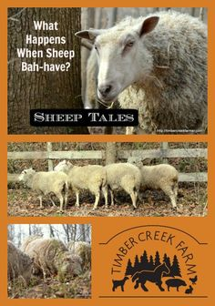 What happens when the sheep come out and they actually behave like well mannered ruminants? Photos, of course!