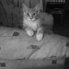 Cats MaineCoon Littlecat