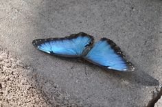 A blue Morpho with wings spread
