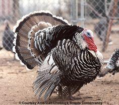 Narragansett Turkey   narragansett-turkey