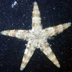 Easy to care for and fun to watch  Sand Shifting Sea Star