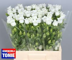 Campanula white
