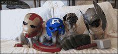 Pug Avengers! Marvel-ous Reimaginings of The Avengers 12 - https://www.facebook.com/diplyofficial