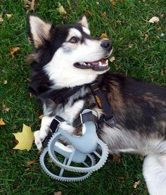 même les animaux trouvent leur compte! des prothèses imprimées pour ce petit chien qui peut de nouveau courir http://www.lifestyl3d.com/limpression-3d-de-medicaments-maintenant-possible/